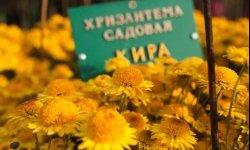 Бал хризантем, выставку